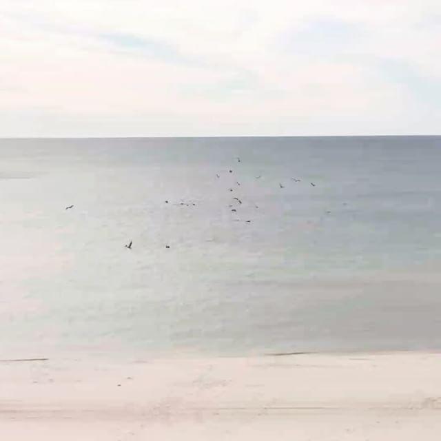 Brown Pelicans diving on a school of fish at Orange Beach, AL. #BrownPelican #PelicansDiving #orangebeachcondo #OrangeBeach #Alabama