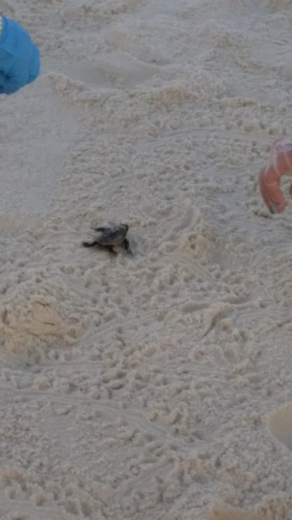 Turtle Hatching at Regency Isle Orange Beach